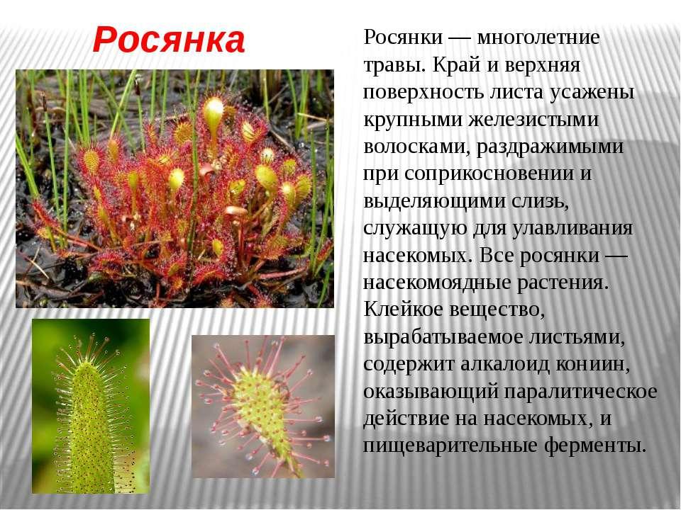 Росянка Росянки — многолетние травы. Край и верхняя поверхность листа усажены...