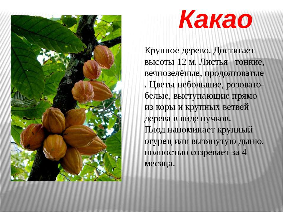 Какао Крупное дерево. Достигает высоты 12 м. Листья тонкие, вечнозелёные, про...