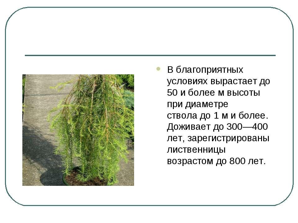 В благоприятных условиях вырастает до 50 и более м высоты придиаметре ствола...