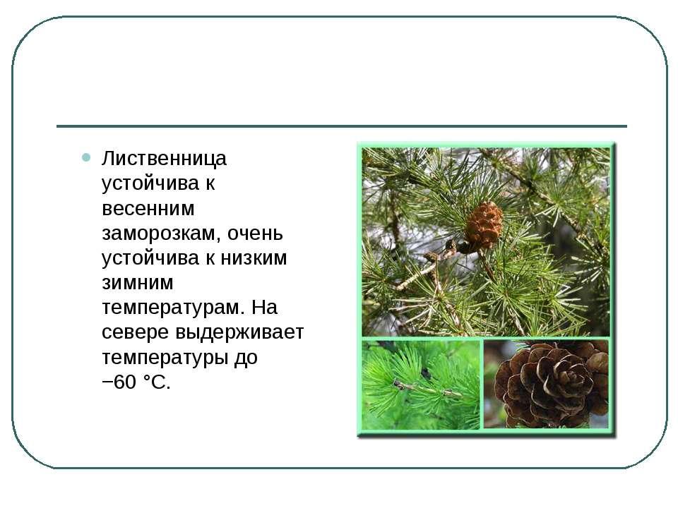 Лиственница устойчива к весенним заморозкам, очень устойчива к низким зимним ...