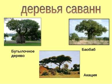 Баобаб Акация Бутылочное дерево