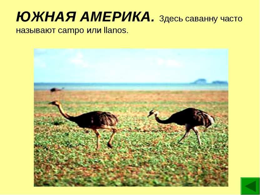ЮЖНАЯ АМЕРИКА. Здесь саванну часто называют campo или llanos.