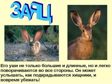 Его уши не только большие и длинные, но и легко поворачиваются во все стороны...