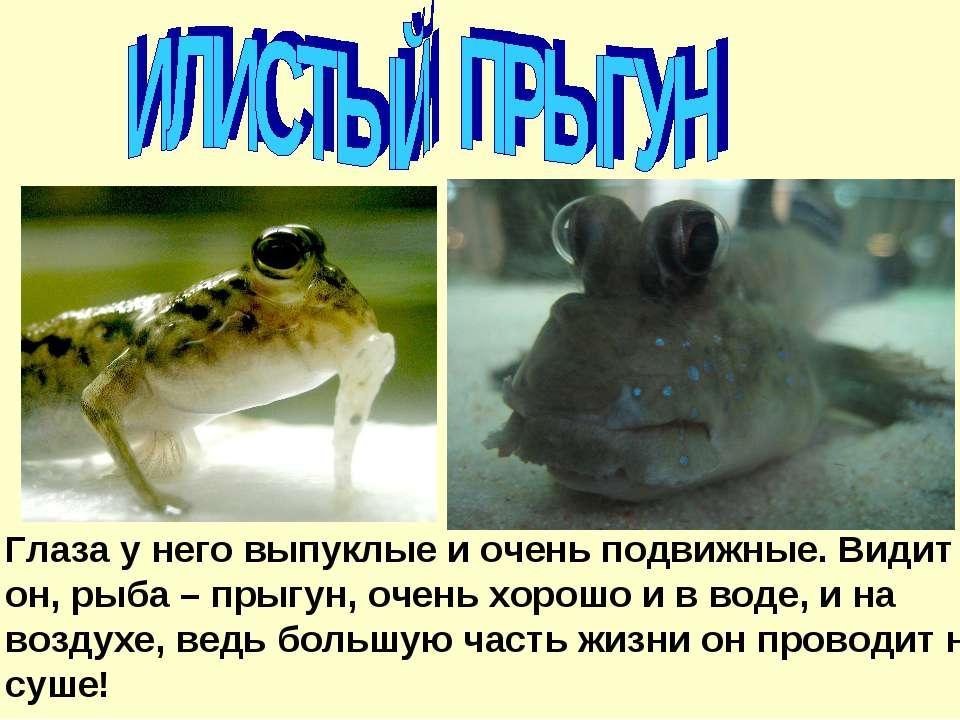 Глаза у него выпуклые и очень подвижные. Видит он, рыба – прыгун, очень хорош...