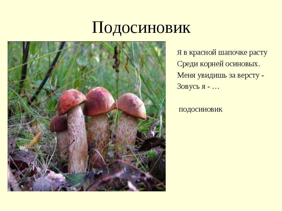 Подосиновик Я в красной шапочке расту Среди корней осиновых. Меня увидишь за ...