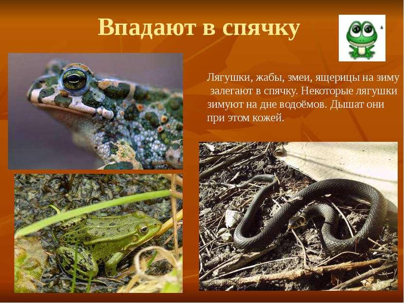 Впадают в спячку Лягушки, жабы, змеи, ящерицы на зиму залегают в спячку. Неко...