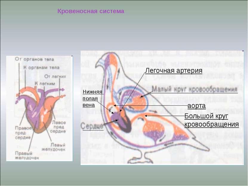 аорта Большой круг кровообращения Легочная артерия Кровеносная система Нижняя...