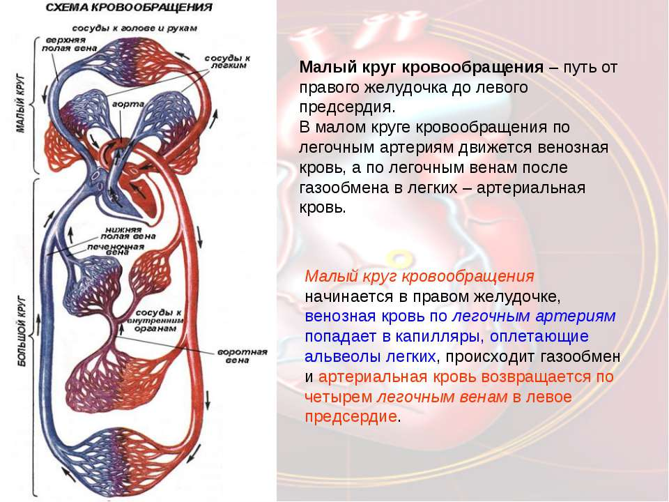Малый круг кровообращения начинается в правом желудочке, венозная кровь по ле...