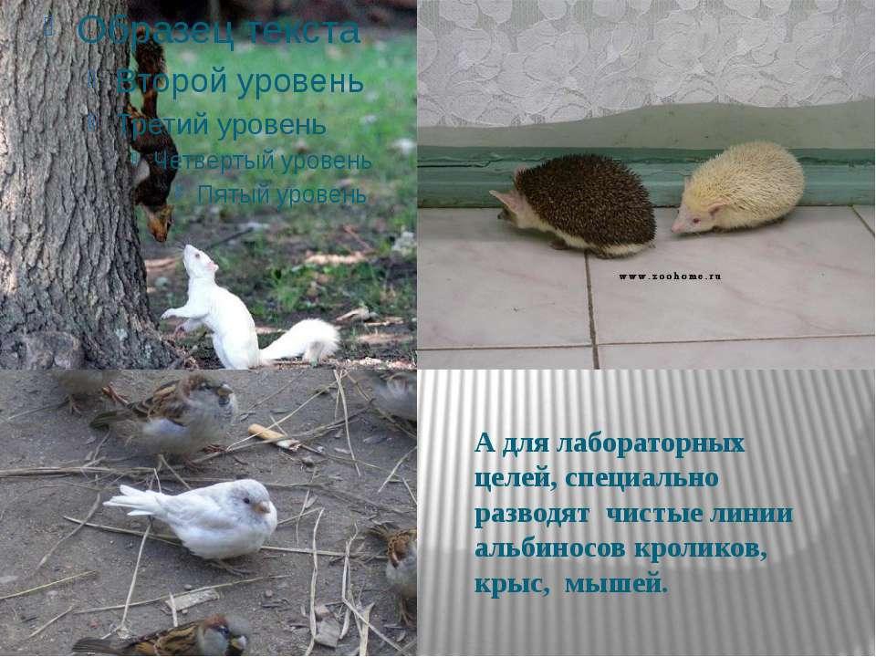 А для лабораторных целей, специально разводят чистые линии альбиносов кролико...