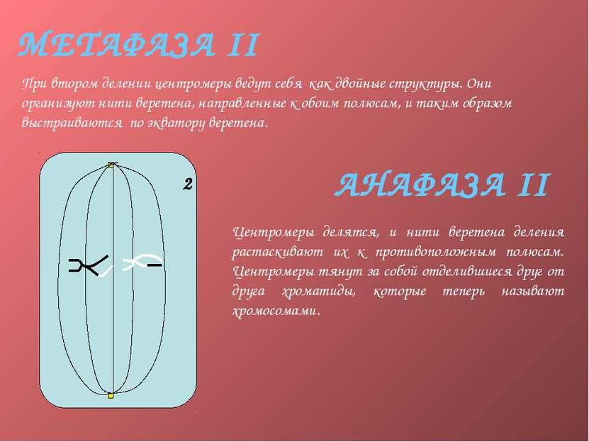 МЕТАФАЗА II При втором делении центромеры ведут себя как двойные структуры. О...