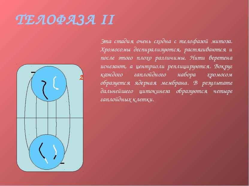 ТЕЛОФАЗА II Эта стадия очень сходна с телофазой митоза. Хромосомы деспирализу...