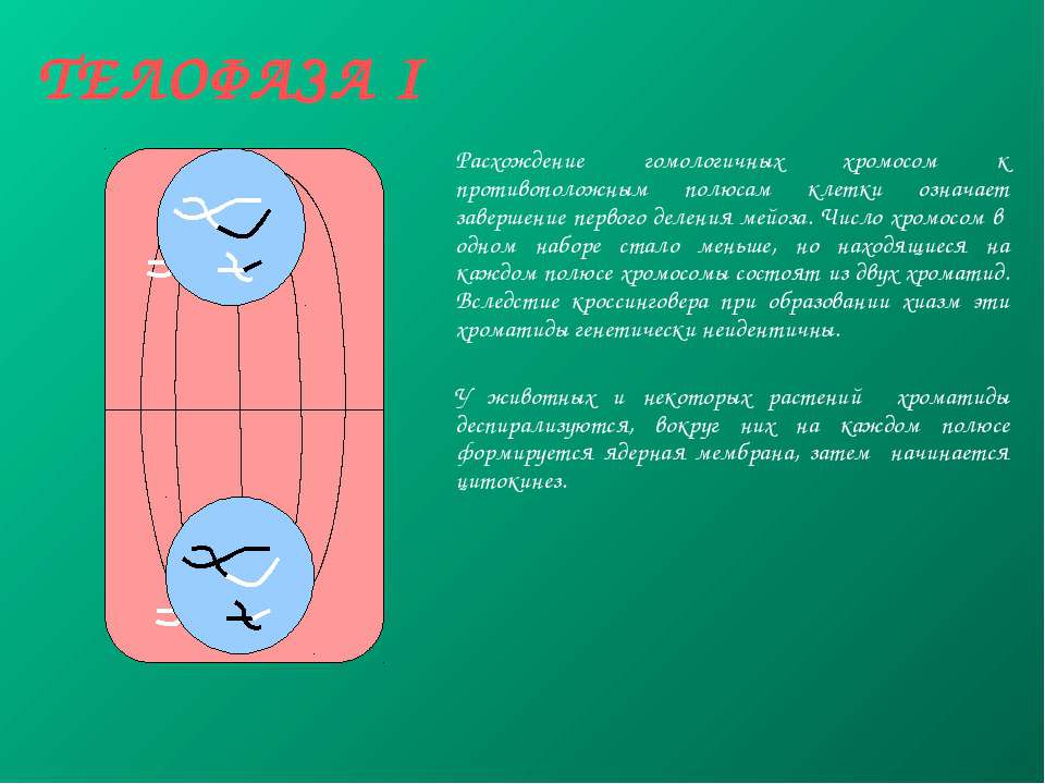 ТЕЛОФАЗА I Расхождение гомологичных хромосом к противоположным полюсам клетки...