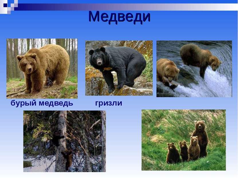 Медведи бурый медведь гризли