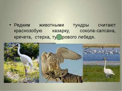Редким животными тундры считают краснозобую казарку, сокола-сапсана, кречета,...