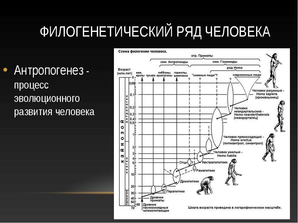 ФИЛОГЕНЕТИЧЕСКИЙ РЯД ЧЕЛОВЕКА Антропогенез - процесс эволюционного развития ч...