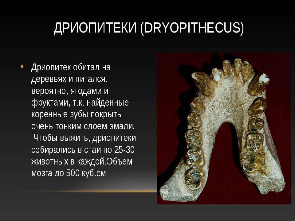 ДРИОПИТЕКИ (DRYOPITHECUS) Дриопитек обитал на деревьях и питался, вероятно, я...
