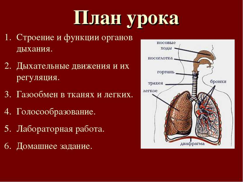 План урока Строение и функции органов дыхания. Дыхательные движения и их регу...