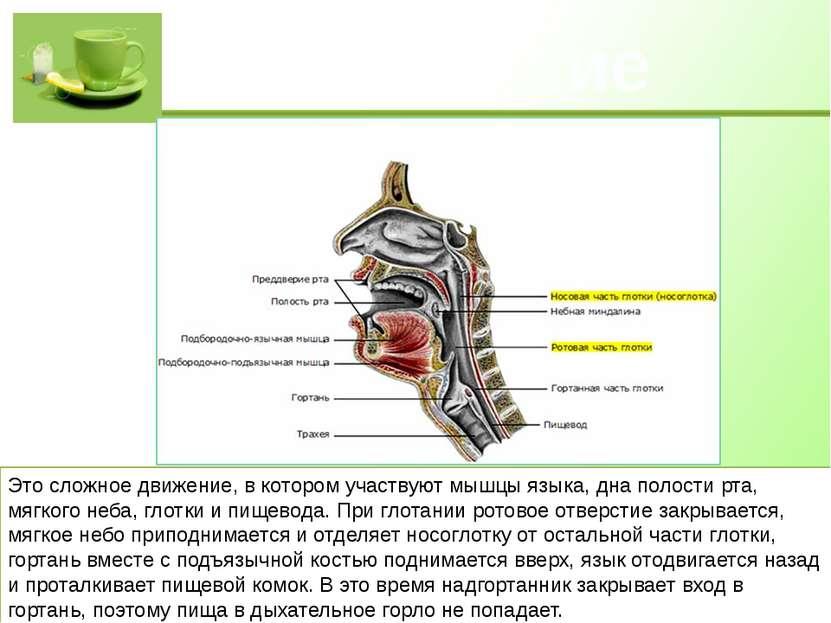 Глотание Это сложное движение, в котором участвуют мышцы языка, дна полости р...