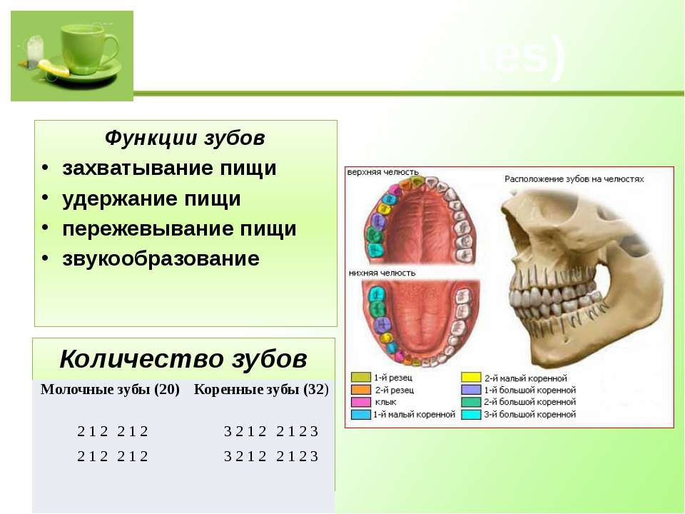 Зубы (dentes) Функции зубов захватывание пищи удержание пищи пережевывание пи...