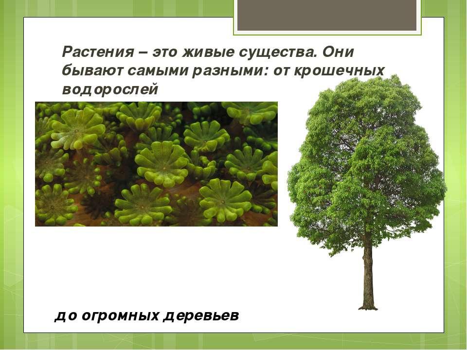 до огромных деревьев Растения – это живые существа. Они бывают самыми разными...