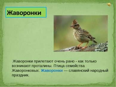 Жаворонки прилетают очень рано - как только возникают проталины. Птица семейс...