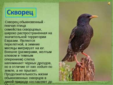 Скворец обыкновенный - певчая птица семействаскворцовых, широко распространё...