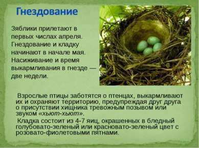 Взрослые птицы заботятся о птенцах, выкармливают их и охраняют территорию, пр...