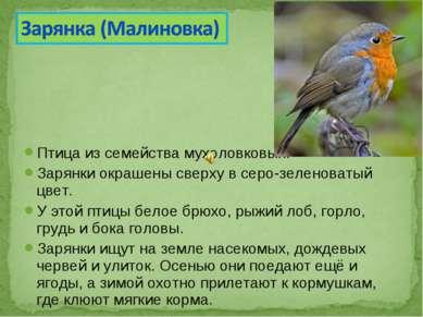 Птицаиз семействамухоловковых. Зарянки окрашены сверху в серо-зеленоватый ц...