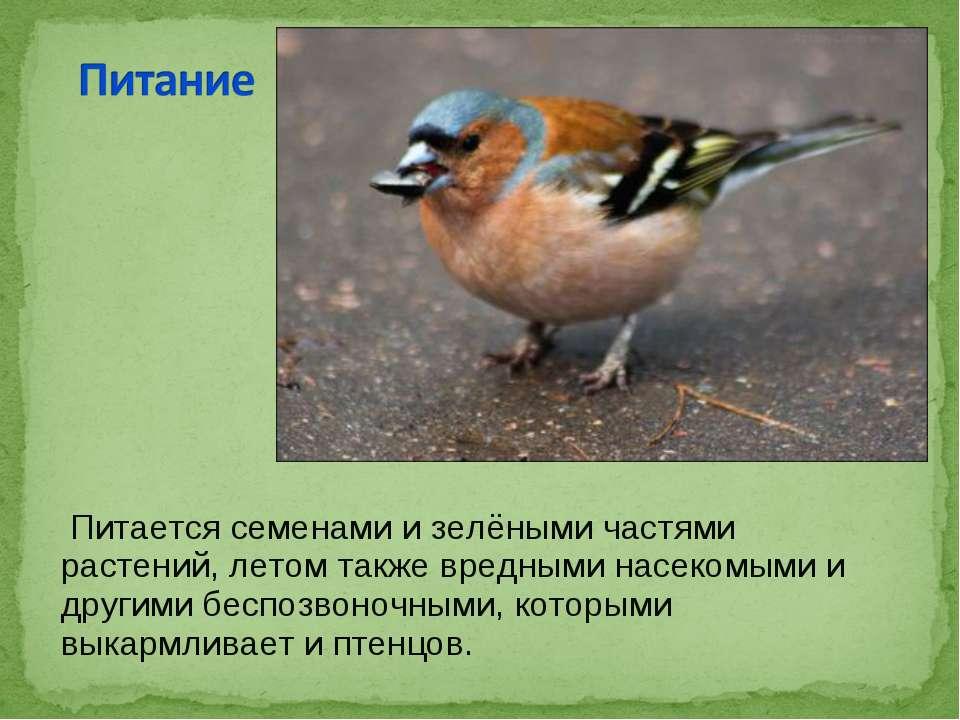 Питается семенами и зелёными частями растений, летом также вредными насекомым...