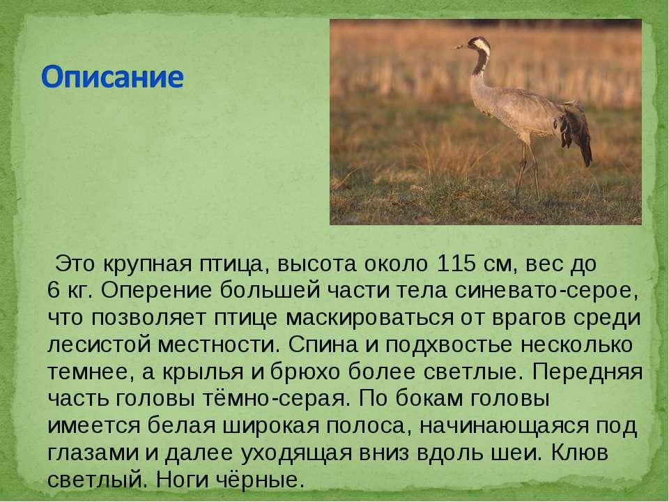 Это крупная птица, высота около 115см, вес до 6кг. Оперение большей части т...