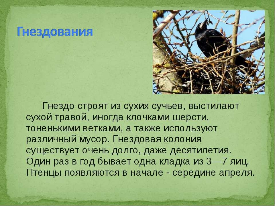 Гнездо строят из сухих сучьев, выстилают сухой травой, иногда клочками шерсти...