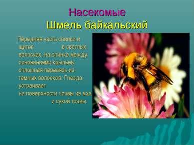 Насекомые Шмель байкальский Передняя часть спинки и щиток в светлых волосках,...