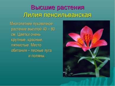 Высшие растения Лилия пенсильванская Многолетнее луковичное растение высотой ...