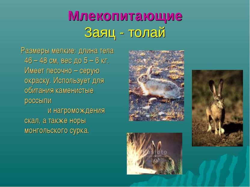 Млекопитающие Заяц - толай Размеры мелкие: длина тела 46 – 48 см, вес до 5 – ...