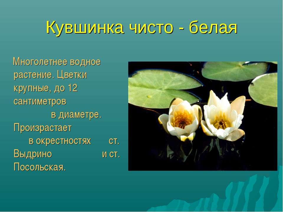 Кувшинка чисто - белая Многолетнее водное растение. Цветки крупные, до 12 сан...