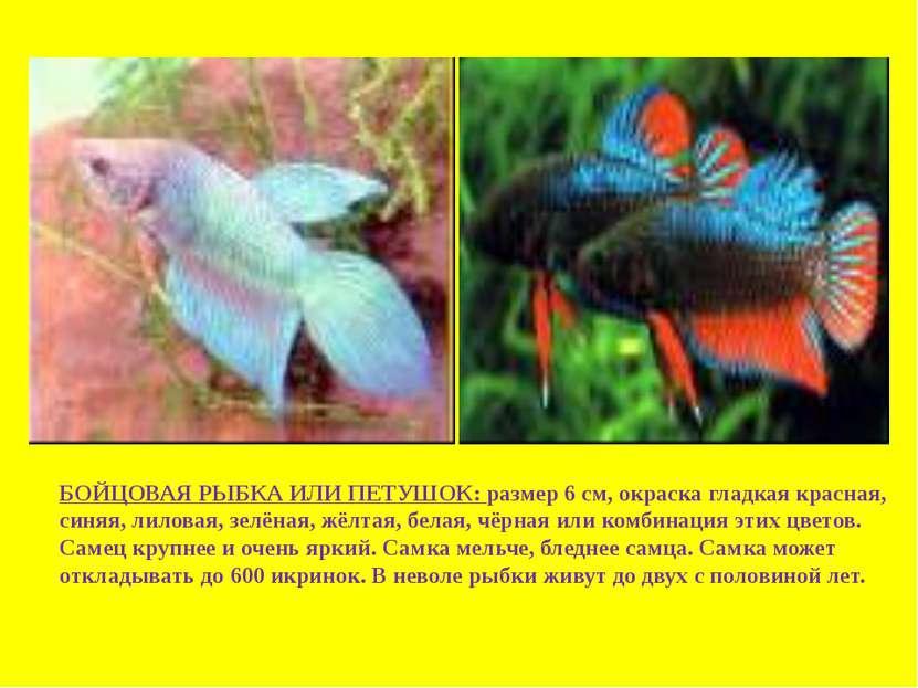БОЙЦОВАЯ РЫБКА ИЛИ ПЕТУШОК: размер 6 см, окраска гладкая красная, синяя, лило...