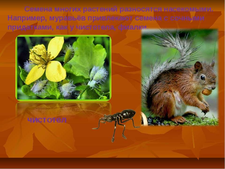 Семена многих растений разносятся насекомыми. Например, муравьёв привлекают с...