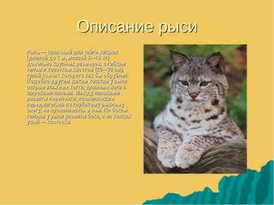 Описание рыси Рысь — типичный для тайги хищник (длиной до 1 м, массой 8—15 кг...