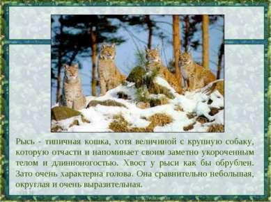 Рысь - типичная кошка, хотя величиной с крупную собаку, которую отчасти и нап...