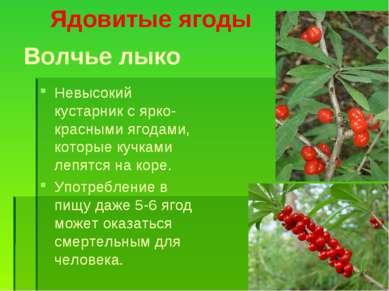 Волчье лыко Невысокий кустарник с ярко-красными ягодами, которые кучками лепя...
