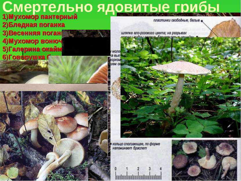 Смертельно ядовитые грибы 1)Мухомор пантерный 2)Бледная поганка 3)Весенняя по...
