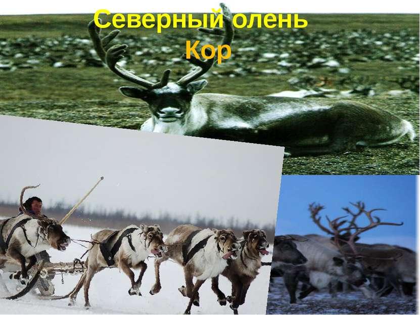 Северный олень Кор