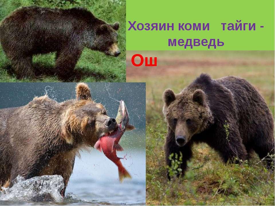Хозяин коми тайги - медведь Ош
