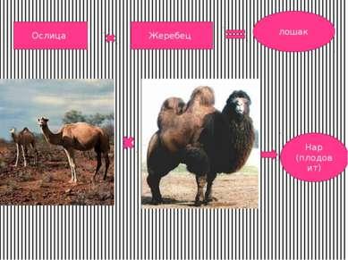 Ослица Жеребец лошак Нар (плодовит)
