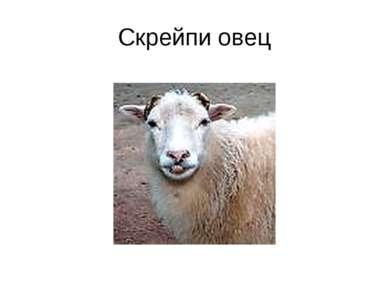 Скрейпи овец