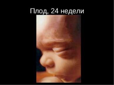 Плод, 24 недели