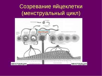 Созревание яйцеклетки (менструальный цикл) менструация менструация овуляция