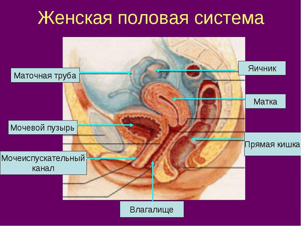 Женская половая система Яичник Маточная труба Матка Мочевой пузырь Мочеиспуск...