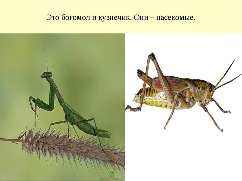 Это богомол и кузнечик. Они – насекомые.