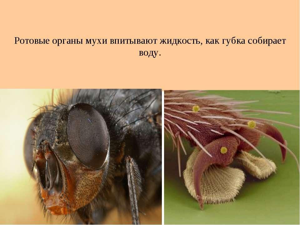 Ротовые органы мухи впитывают жидкость, как губка собирает воду.
